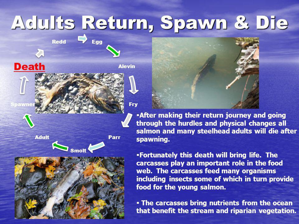 Adults Return, Spawn & Die Egg Alevin Fry Parr Smolt Adult Spawner Death Redd After making their return journey and going through the hurdles and phys