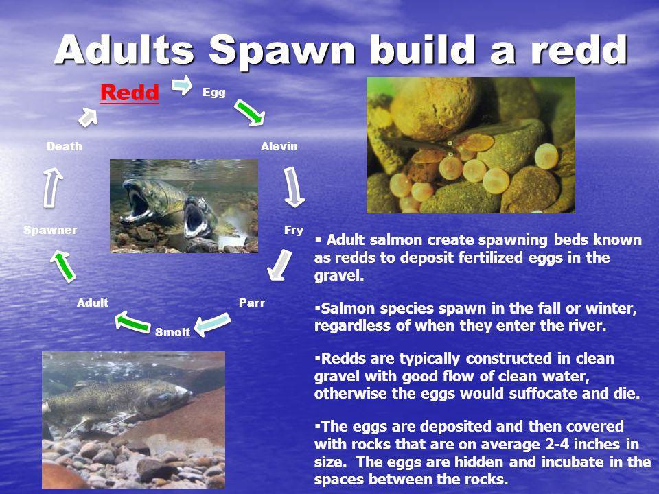 Adults Spawn build a redd Egg Alevin Fry Parr Smolt Adult Spawner Death Redd Adult salmon create spawning beds known as redds to deposit fertilized eg