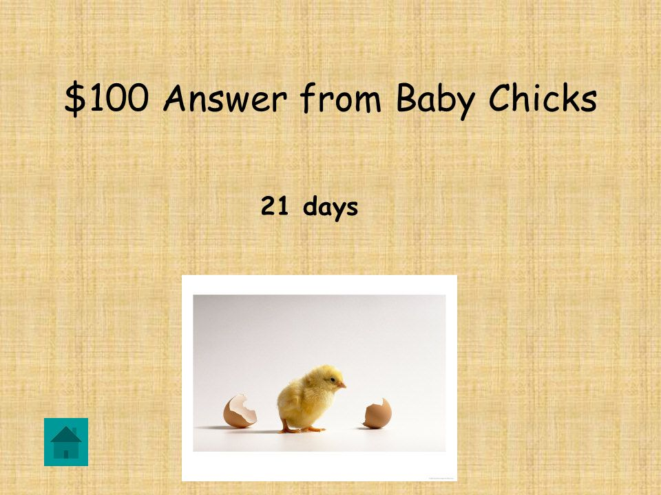 $100 Question from Baby Chicks How long does it take for a baby chick to hatch