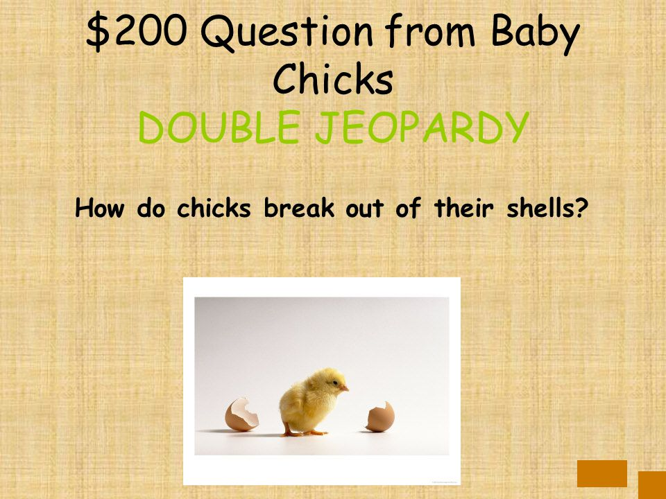$100 Answer from Baby Chicks 21 days