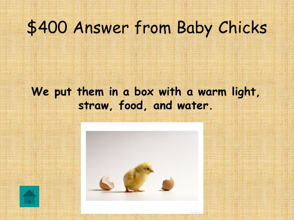 $400 Question from Baby Chicks What do we do with the baby chicks after they hatch