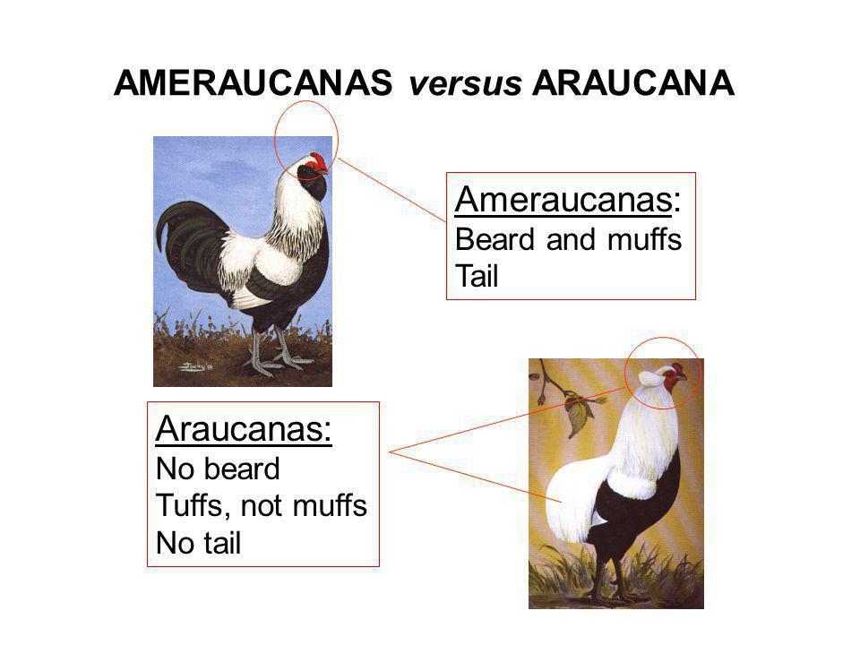 AMERAUCANAS versus ARAUCANA Ameraucanas: Beard and muffs Tail Araucanas: No beard Tuffs, not muffs No tail