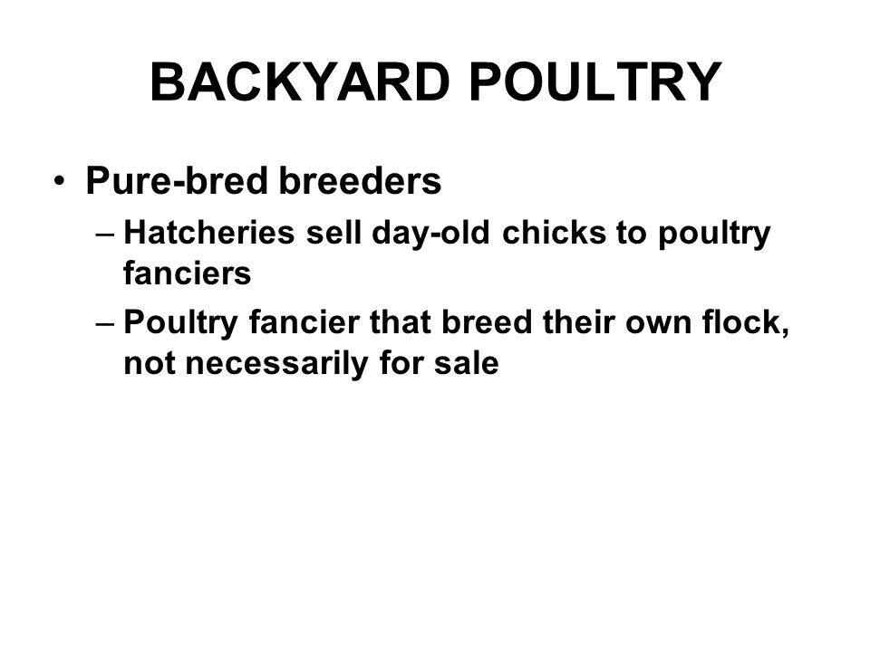 BACKYARD POULTRY Pure-bred breeders –Hatcheries sell day-old chicks to poultry fanciers –Poultry fancier that breed their own flock, not necessarily f