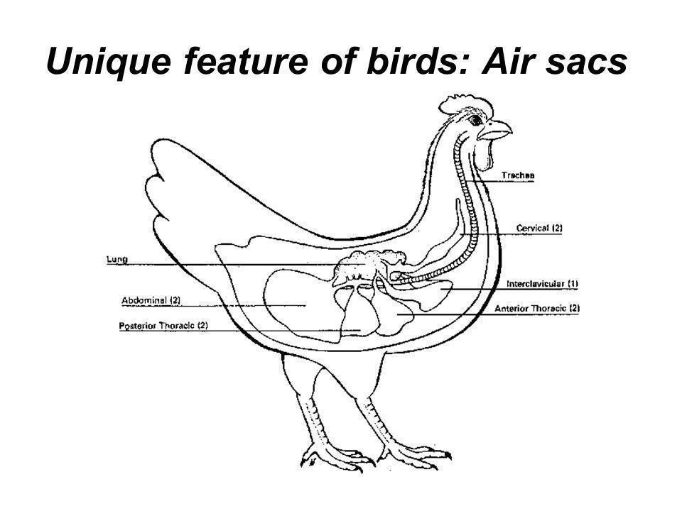 Unique feature of birds: Air sacs