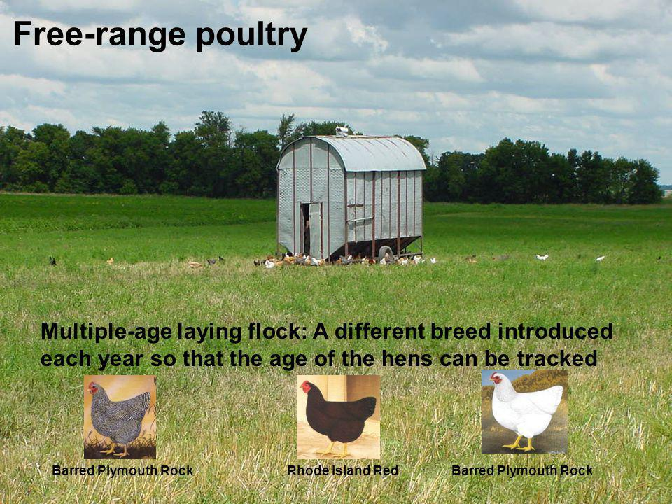 Free-range poultry Multiple-age laying flock: A different breed introduced each year so that the age of the hens can be tracked Barred Plymouth RockRh