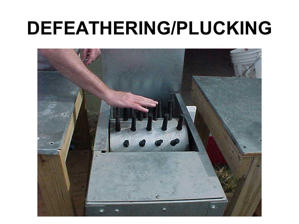 DEFEATHERING/PLUCKING