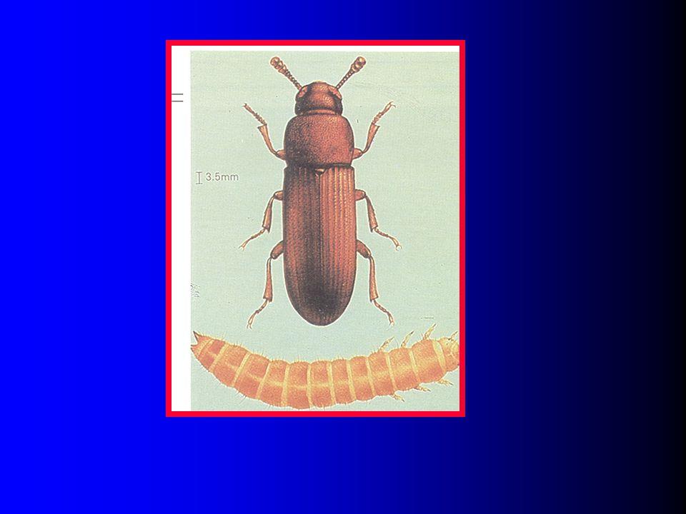 Flour Beetles, Trobolium spp. 9 species. 9 species. castaneum, confusum, madens, audax, destructor, anaphe, thusa, brevicorne, and parallelum. castane