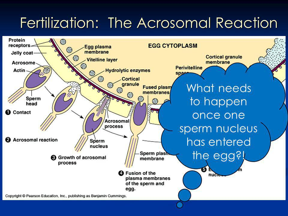 What needs to happen once one sperm nucleus has entered the egg?!