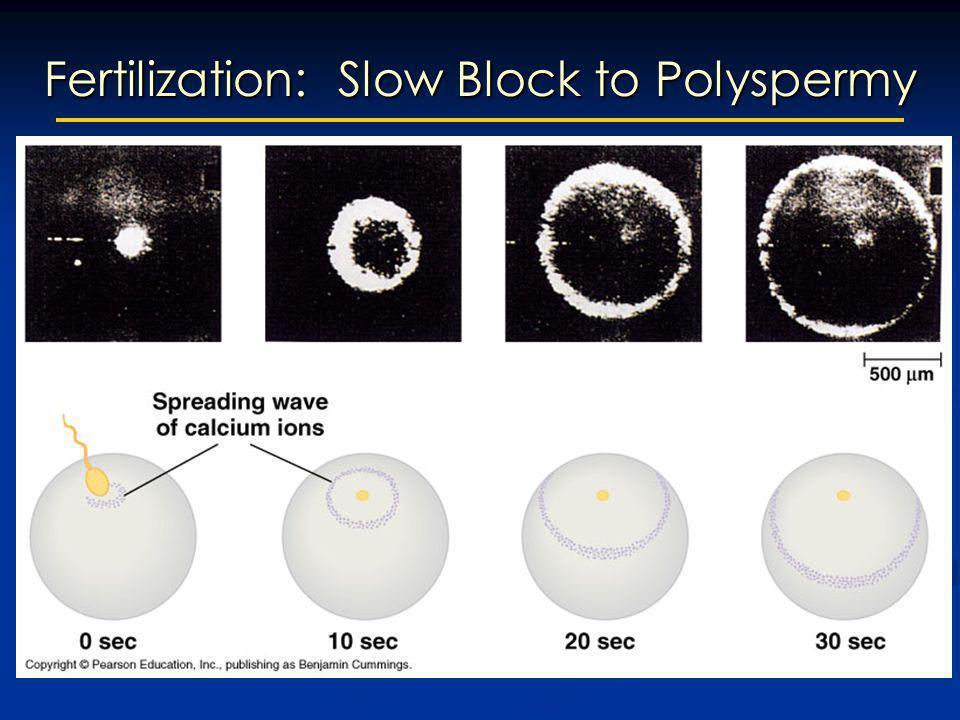 Fertilization: Slow Block to Polyspermy