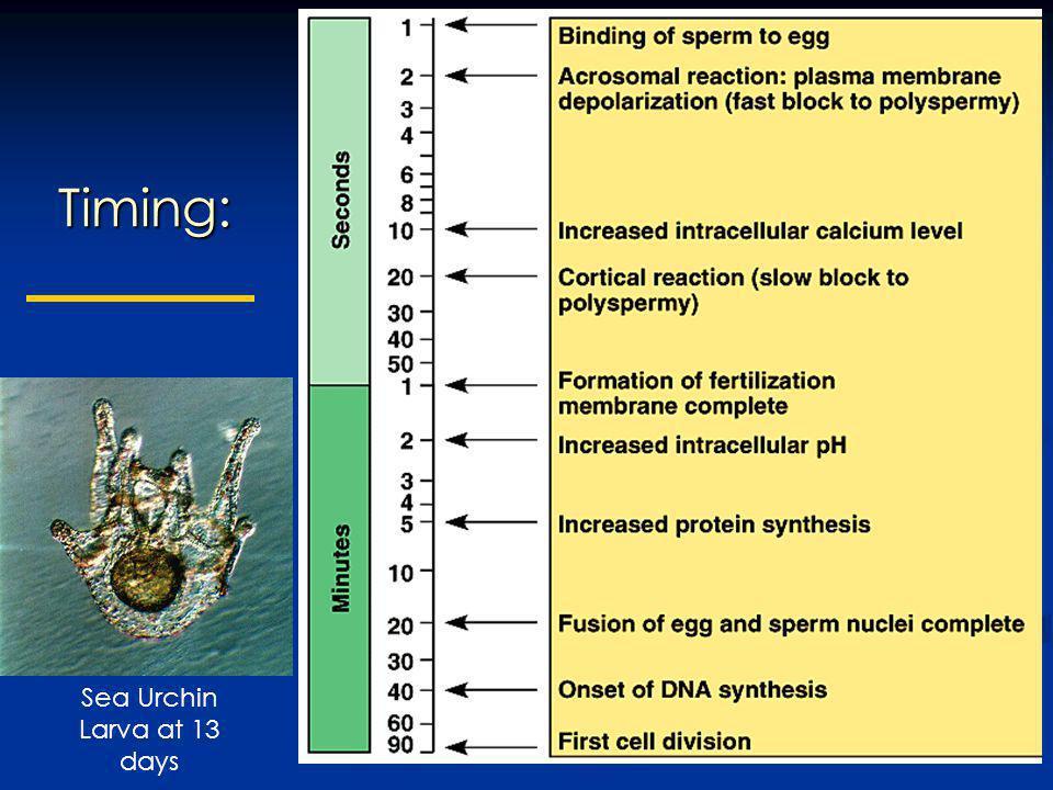 Timing: Sea Urchin Larva at 13 days