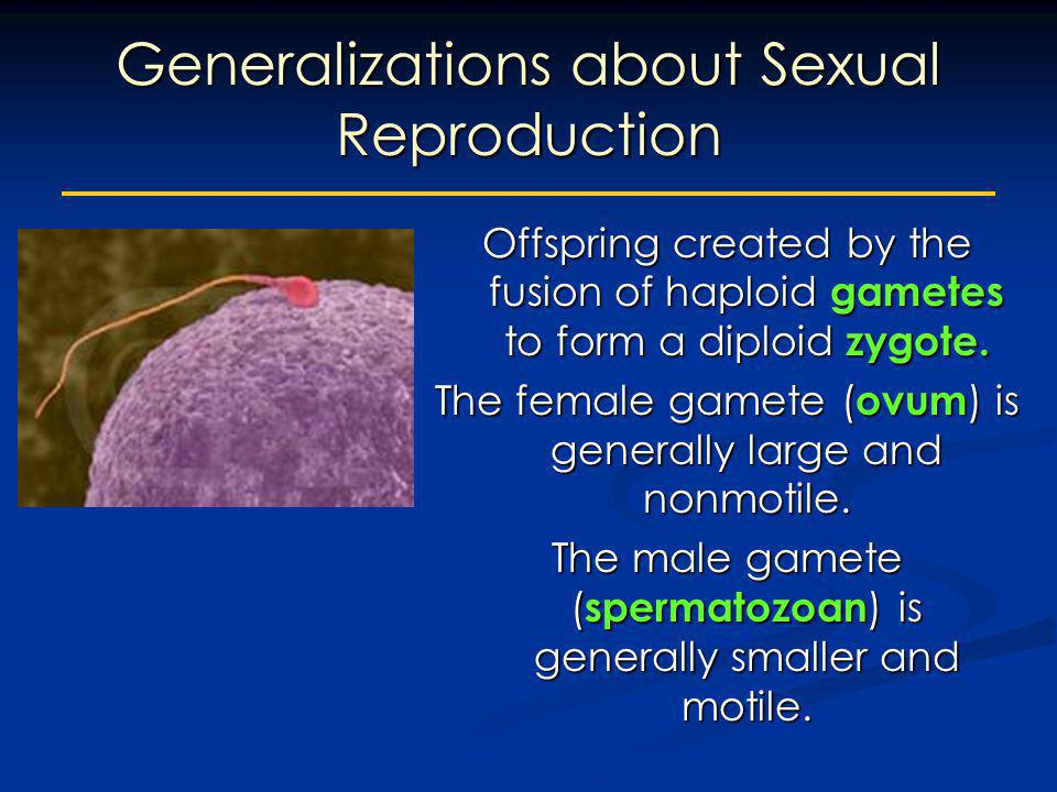 Generalizations about Sexual Reproduction Offspring created by the fusion of haploid gametes to form a diploid zygote. The female gamete ( ovum ) is g