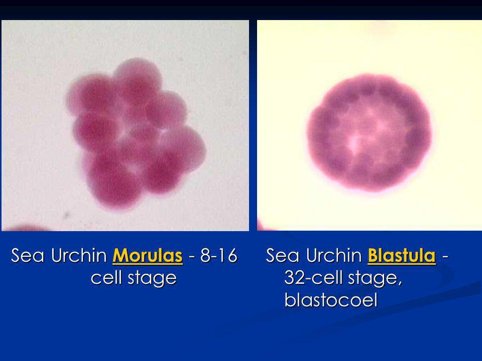 Sea Urchin Morulas - 8-16 cell stage Morulas Sea Urchin Blastula - 32-cell stage, blastocoel Blastula