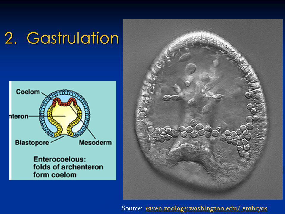 2. Gastrulation Source: raven.zoology.washington.edu/ embryosraven.zoology.washington.edu/ embryos