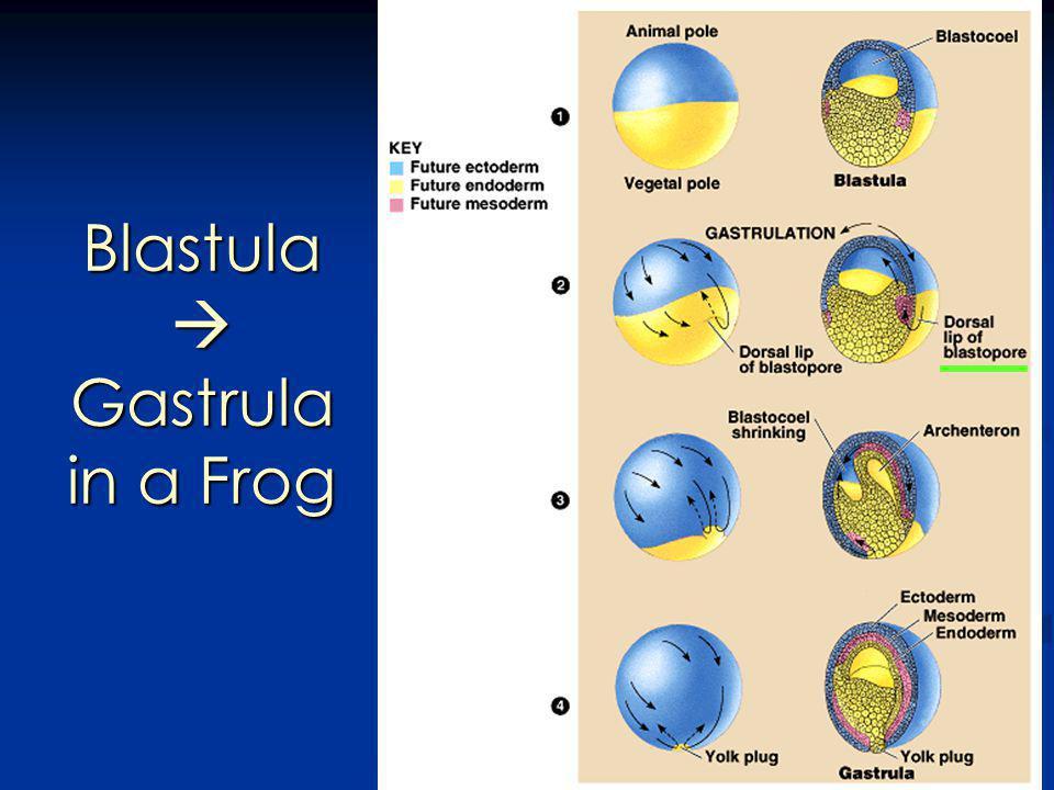 Blastula Gastrula in a Frog