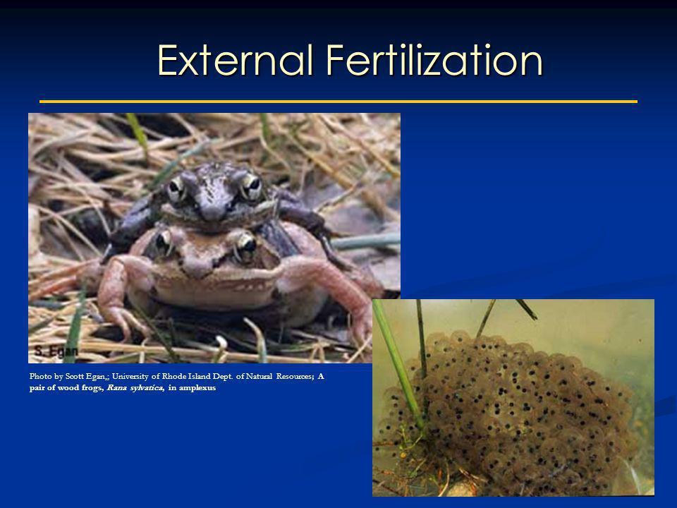 External Fertilization Photo by Scott Egan,; University of Rhode Island Dept. of Natural Resources; A pair of wood frogs, Rana sylvatica, in amplexus