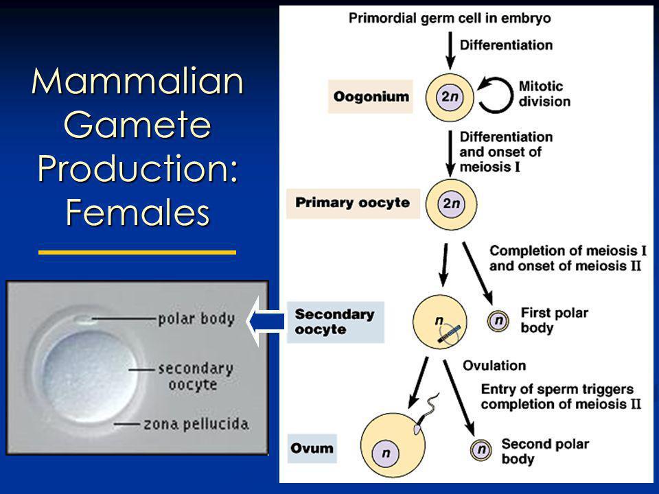 Mammalian Gamete Production: Females