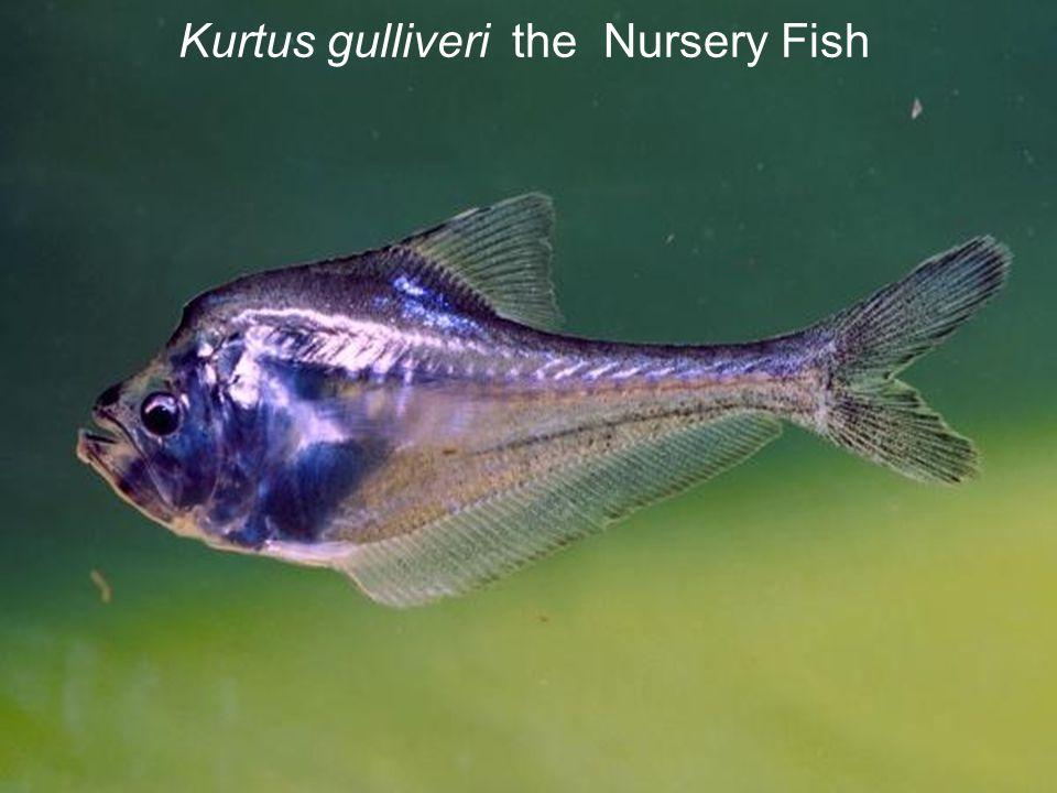Kurtus gulliveri the Nursery Fish