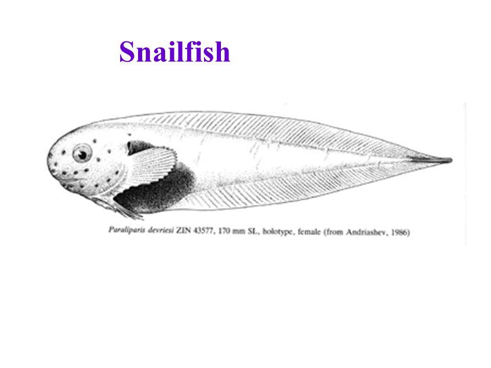 Snailfish
