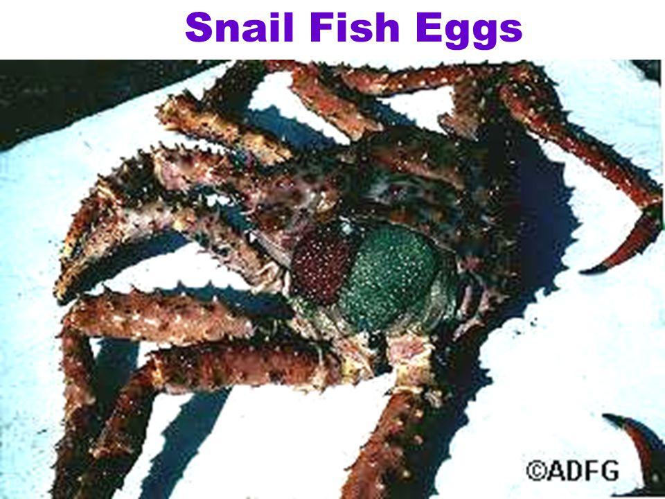 Snail Fish Eggs