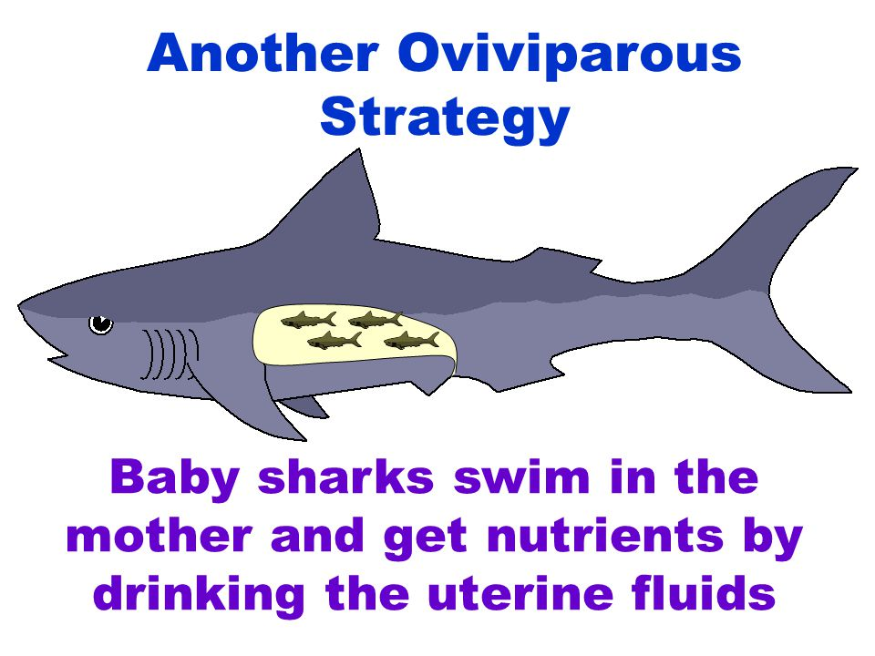 Baby sharks swim in the mother and get nutrients by drinking the uterine fluids Another Oviviparous Strategy