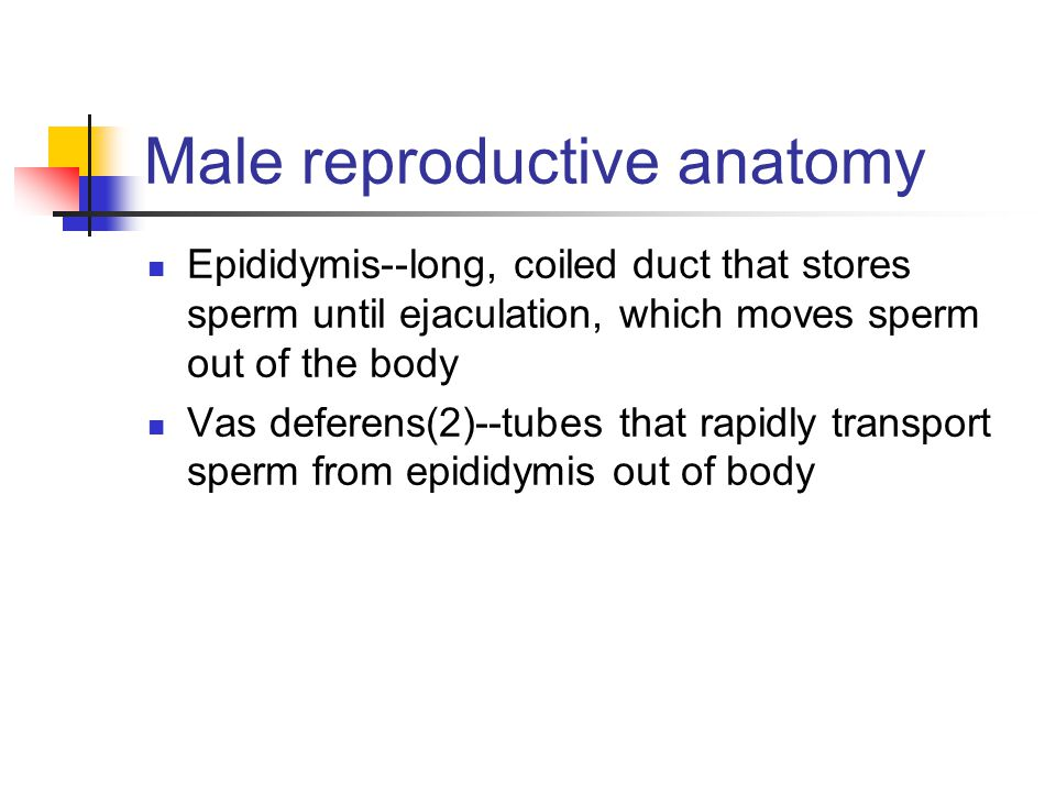 Male reproductive anatomy Epididymis--long, coiled duct that stores sperm until ejaculation, which moves sperm out of the body Vas deferens(2)--tubes