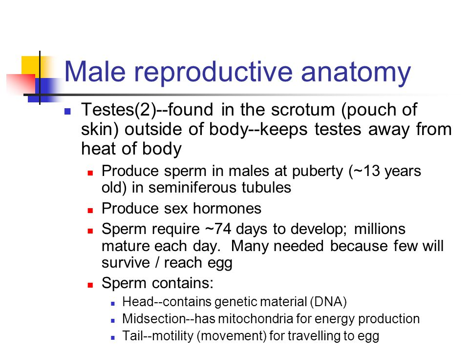 Hormones in males FSH stimulates maturation of the testes and sperm LH stimulates release of testosterone (male sex hormone) from the testes Testosterone stimulates: Sperm production, erection, and ejaculation Secondary sex characteristics