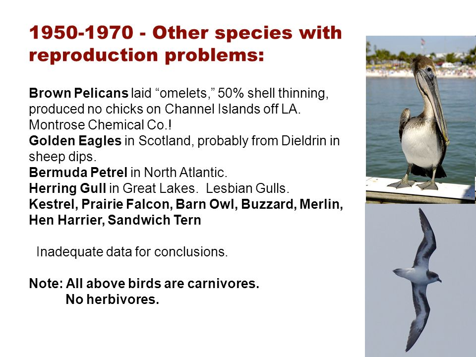 1950-1970 - Other species with reproduction problems: Brown Pelicans laid omelets, 50% shell thinning, produced no chicks on Channel Islands off LA. M