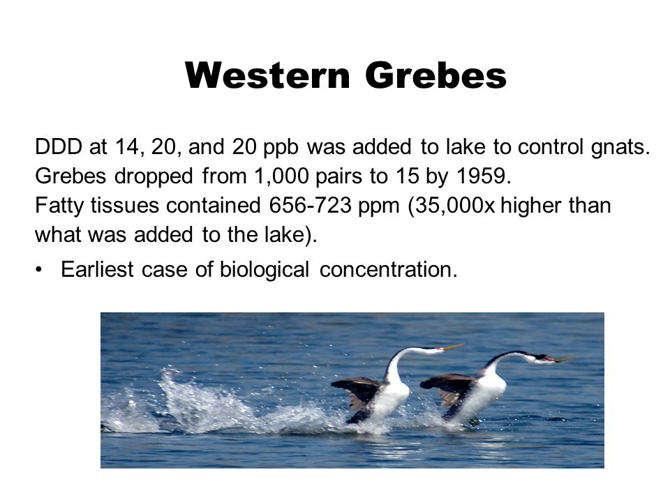 Western Grebes DDD at 14, 20, and 20 ppb was added to lake to control gnats. Grebes dropped from 1,000 pairs to 15 by 1959. Fatty tissues contained 65