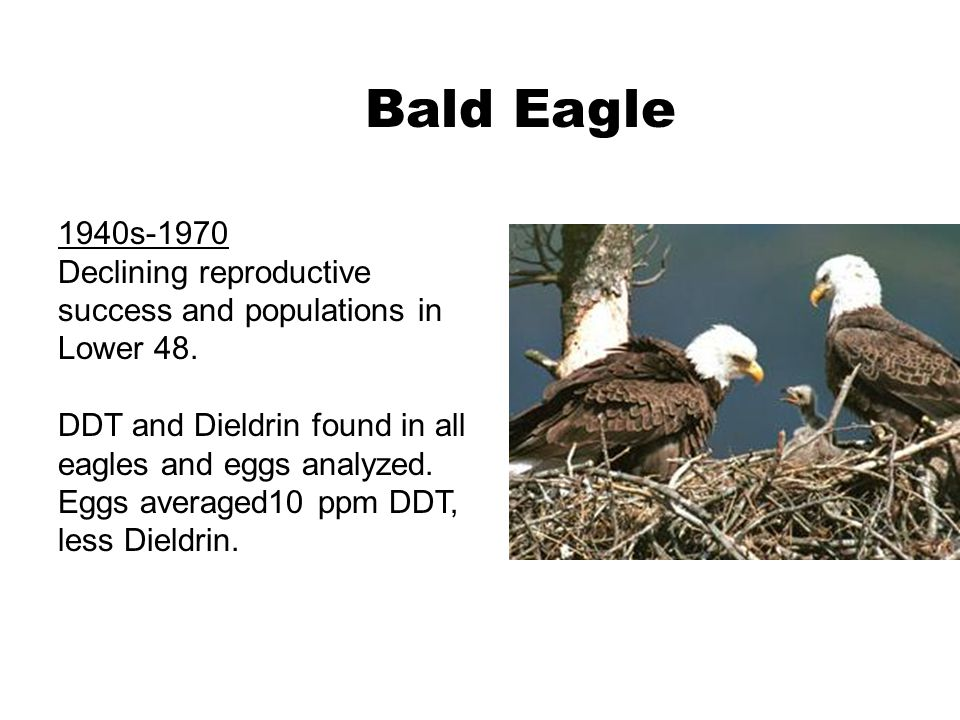 1940s-1970 Declining reproductive success and populations in Lower 48. DDT and Dieldrin found in all eagles and eggs analyzed. Eggs averaged10 ppm DDT