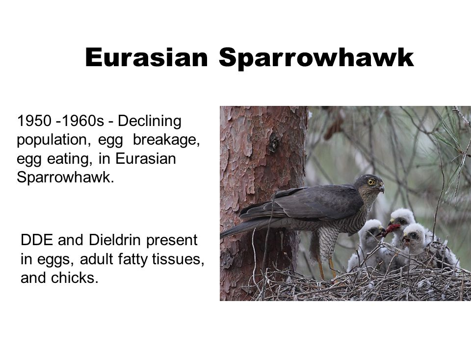 1950 -1960s - Declining population, egg breakage, egg eating, in Eurasian Sparrowhawk. Eurasian Sparrowhawk DDE and Dieldrin present in eggs, adult fa