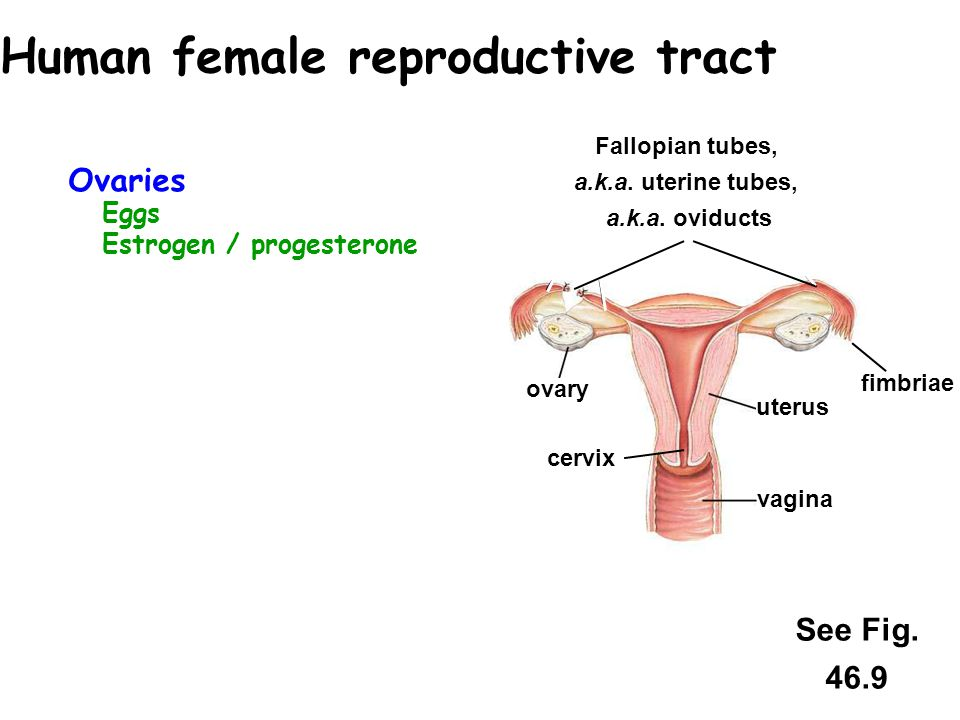 Ovaries Eggs Estrogen / progesterone Accessory structures receive & move sperm to egg & nourish developing embryo Vagina – receives sperm Fallopian tu