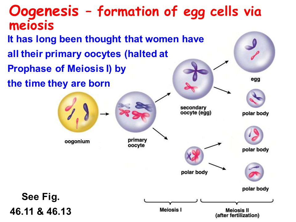 Oogenesis – formation of egg cells via meiosis It has long been thought that women have all their primary oocytes (halted at Prophase of Meiosis I) by