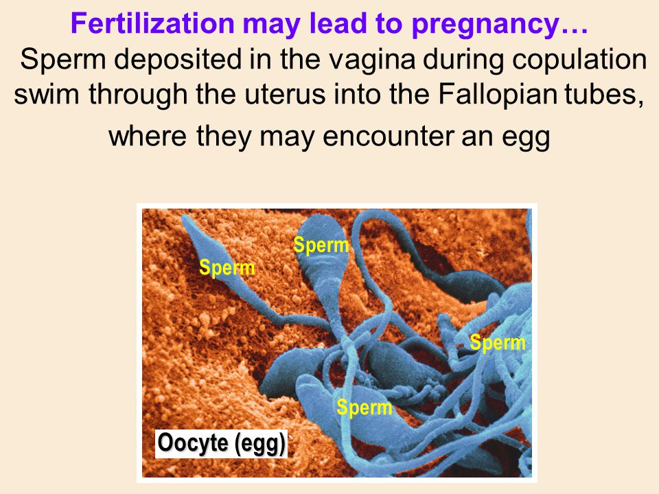 Fertilization may lead to pregnancy… Sperm deposited in the vagina during copulation swim through the uterus into the Fallopian tubes, where they may
