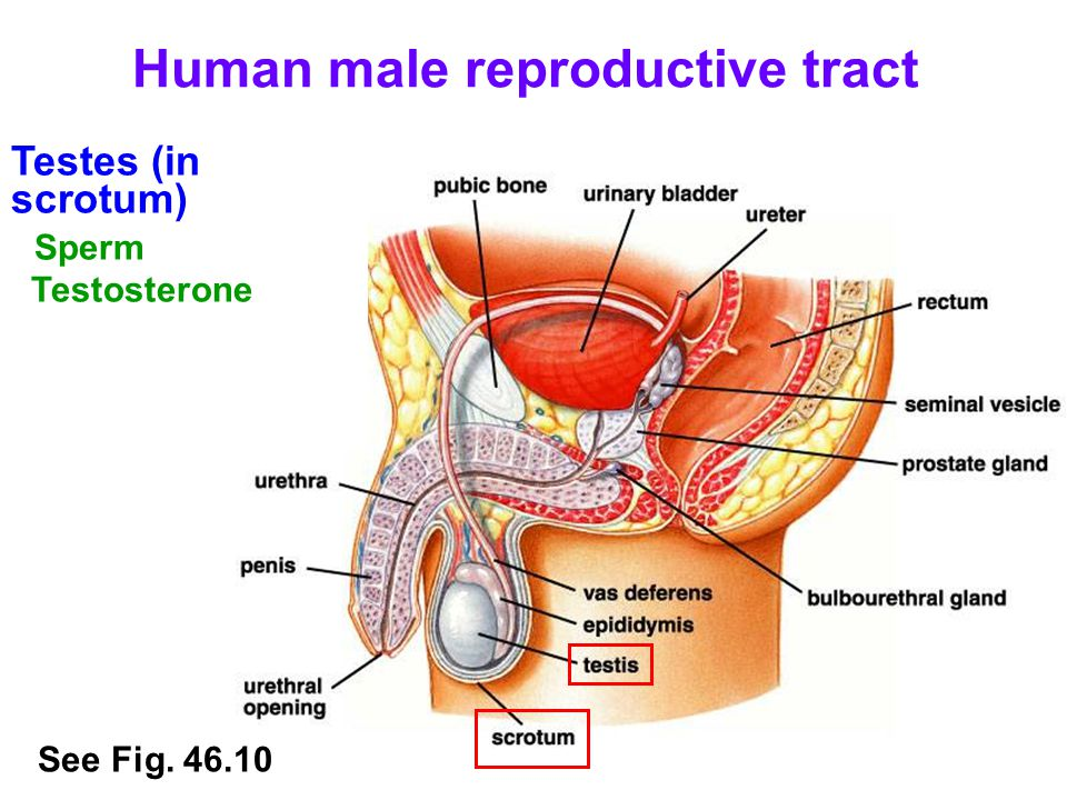 Human male reproductive tract Testes (in scrotum) Sperm Testosterone See Fig. 46.10