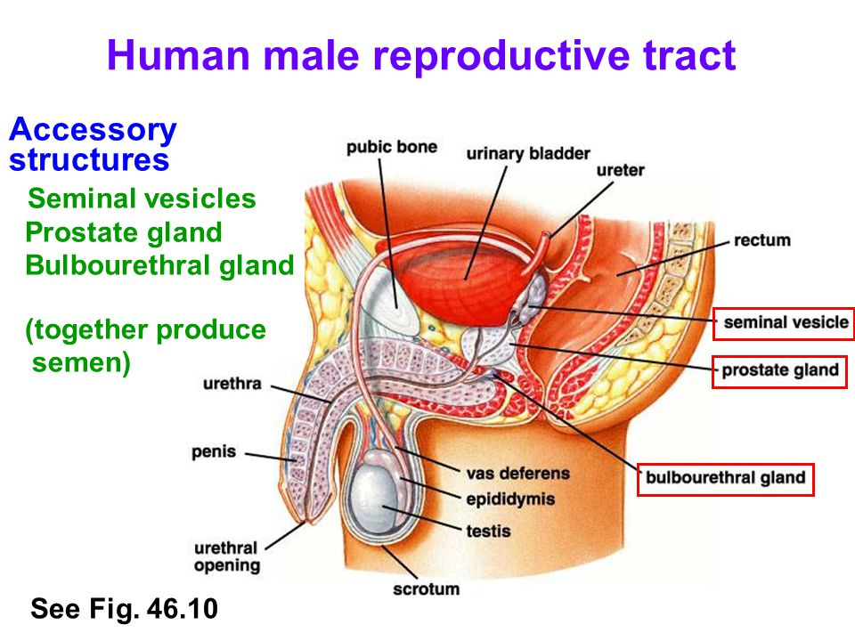 Human male reproductive tract Accessory structures Epididymis (sperm storage) See Fig. 46.10