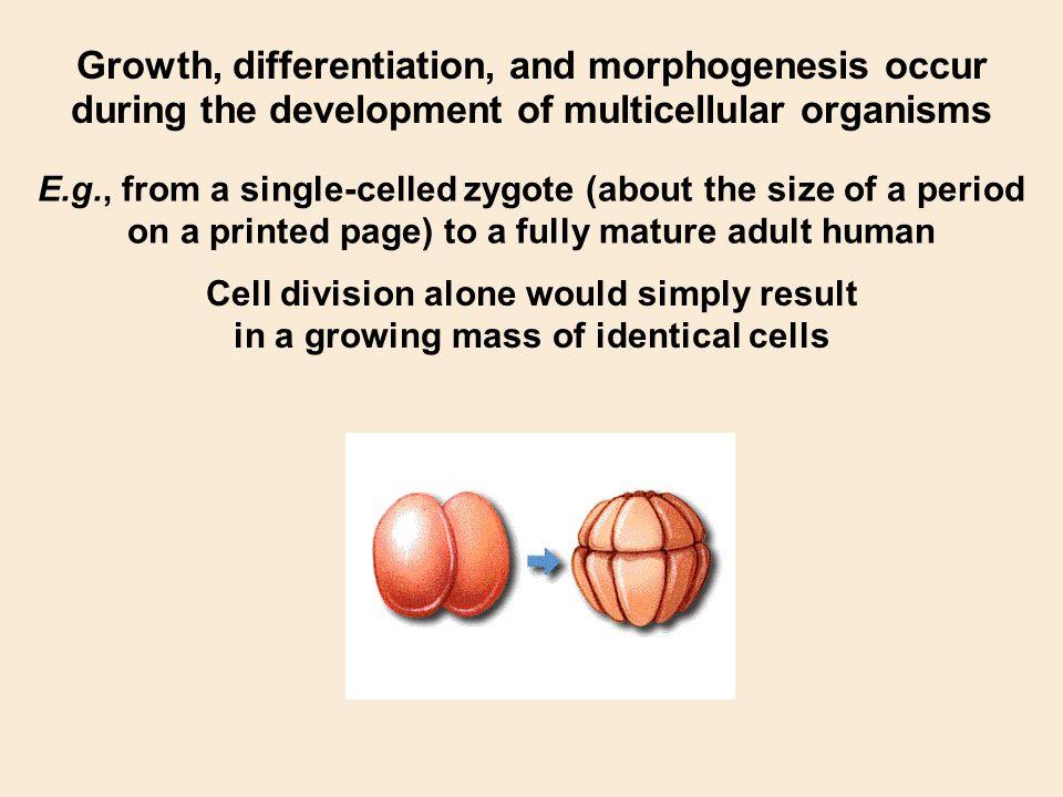 Growth, differentiation, and morphogenesis occur during the development of multicellular organisms E.g., from a single-celled zygote (about the size o