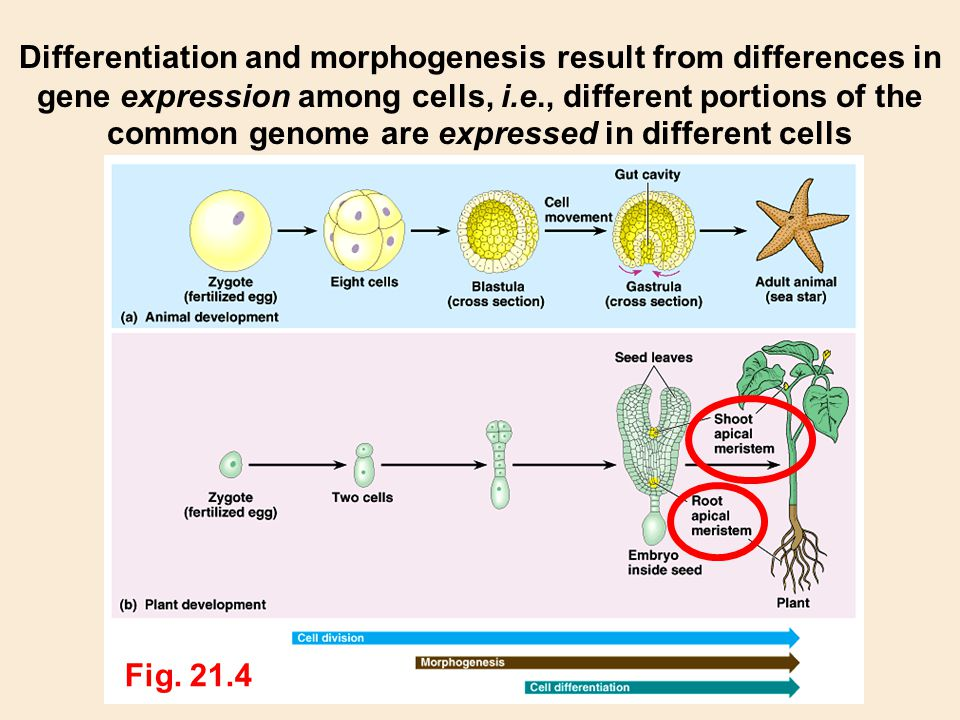 Differentiation and morphogenesis result from differences in gene expression among cells, i.e., different portions of the common genome are expressed