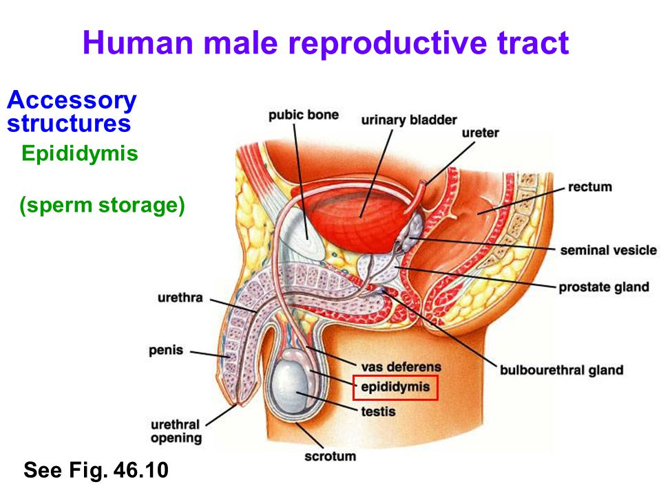 Accessory structures Vas deferens (connects testes to urethra) Human male reproductive tract See Fig.