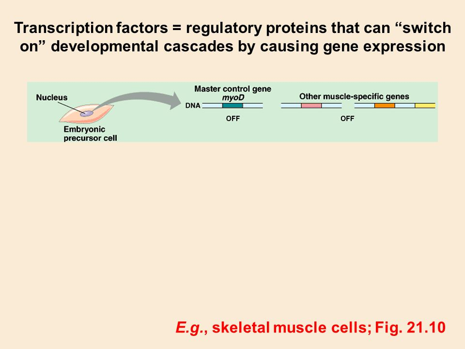 Transcription factors = regulatory proteins that can switch on developmental cascades by causing gene expression E.g., skeletal muscle cells; Fig. 21.