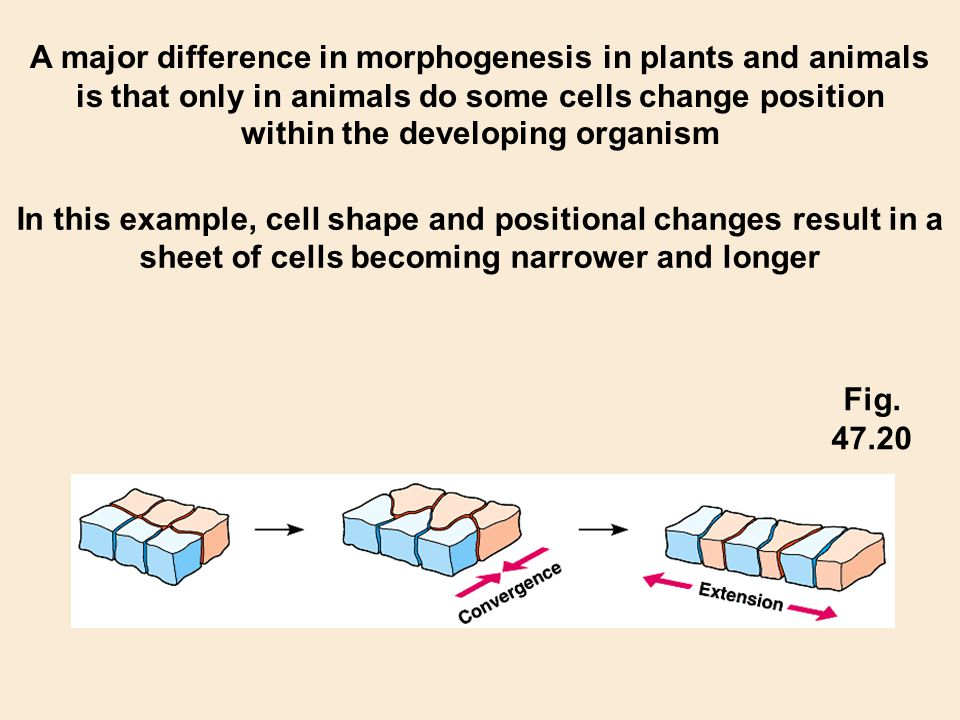 A major difference in morphogenesis in plants and animals is that only in animals do some cells change position within the developing organism In this