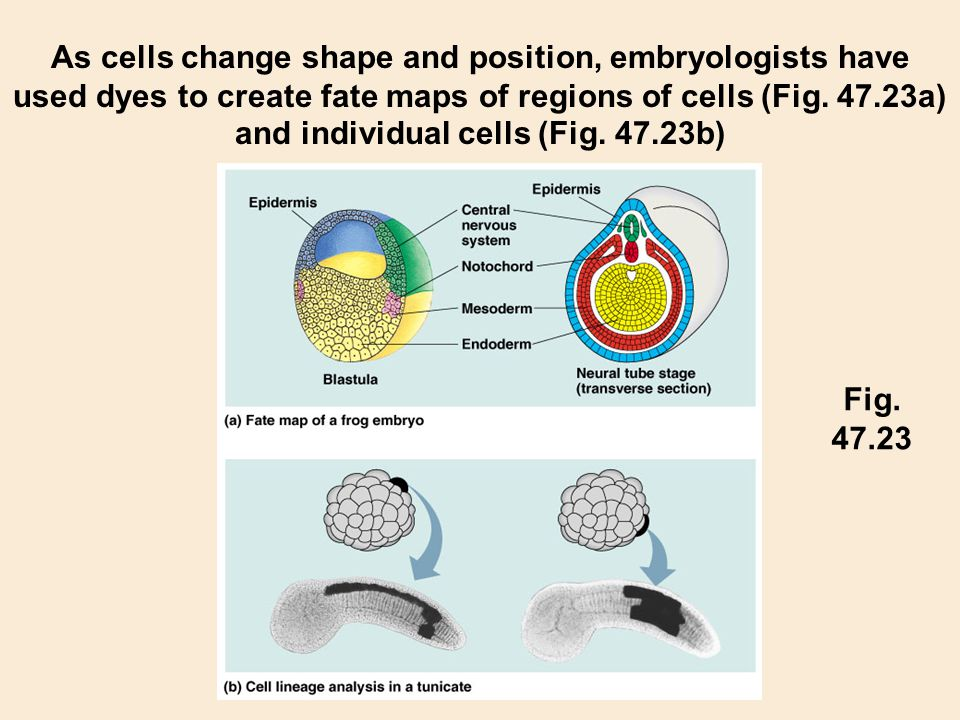 As cells change shape and position, embryologists have used dyes to create fate maps of regions of cells (Fig. 47.23a) and individual cells (Fig. 47.2