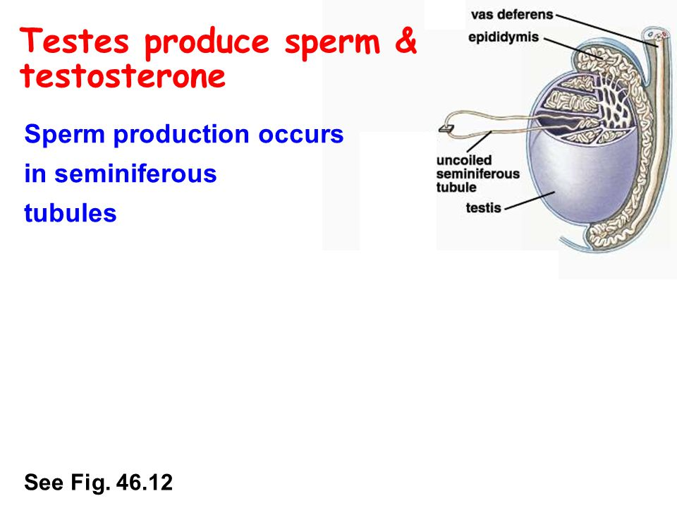 Testes produce sperm & testosterone Sperm production occurs in seminiferous tubules At puberty, testosterone production begins in interstitial cells See Fig.