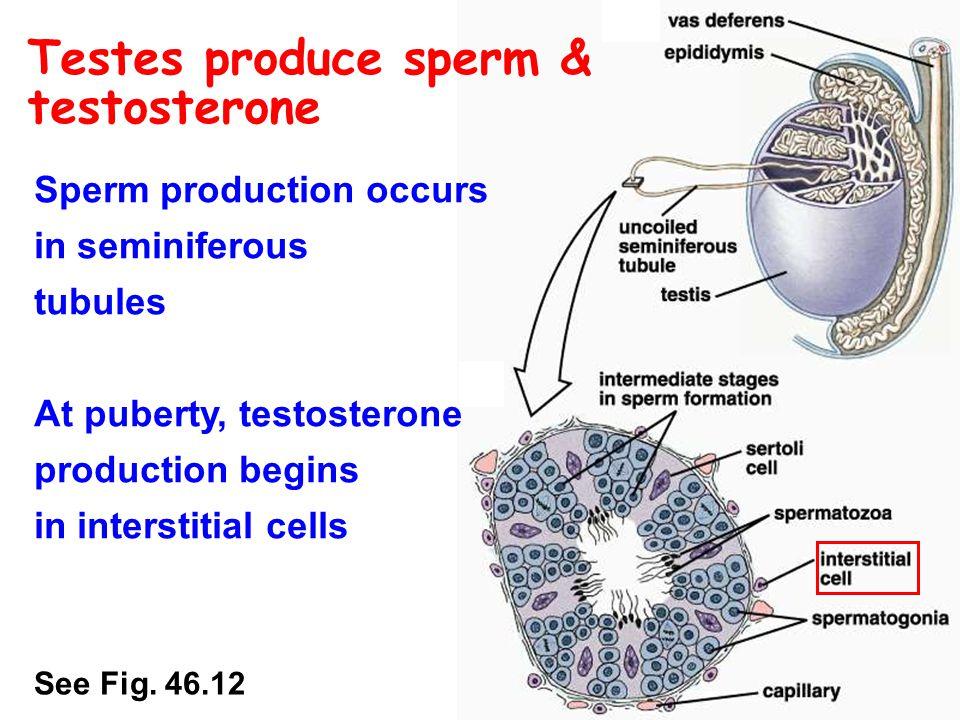 Testes produce sperm & testosterone Sperm production occurs in seminiferous tubules Sertoli cells regulate sperm production & nourish developing sperm See Fig.