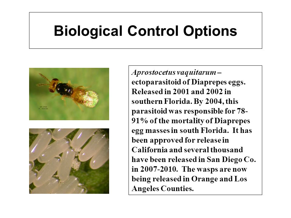 Biological Control Options Aprostocetus vaquitarum – ectoparasitoid of Diaprepes eggs. Released in 2001 and 2002 in southern Florida. By 2004, this pa