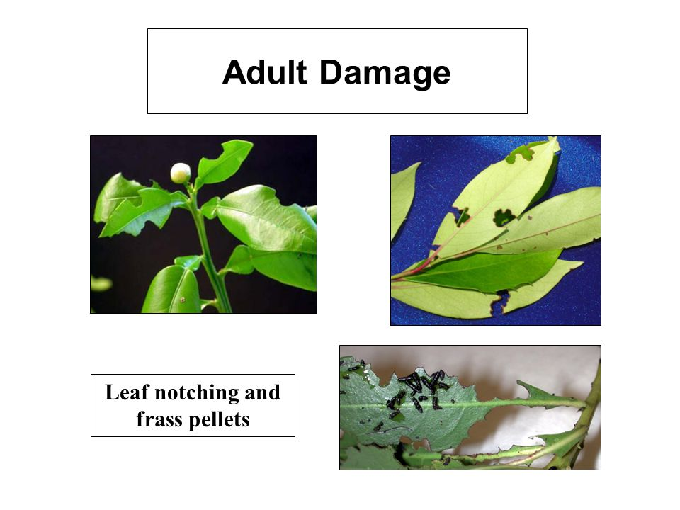 Adult Damage Leaf notching and frass pellets