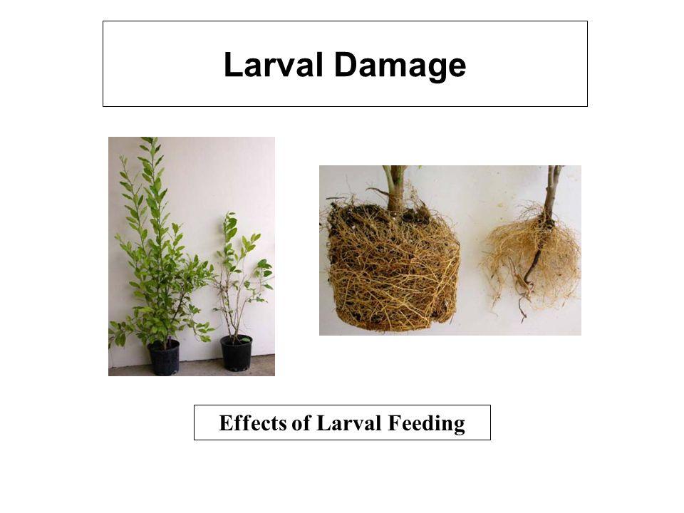 Larval Damage Effects of Larval Feeding