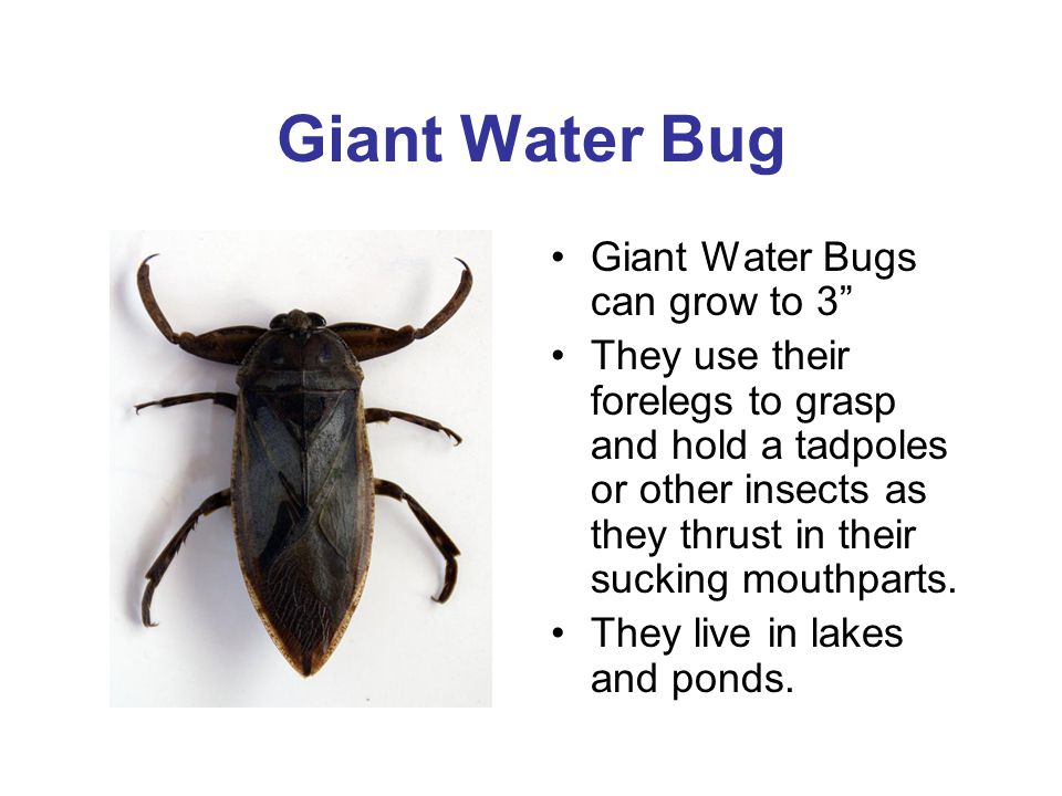 Giant Water Bug Giant Water Bugs can grow to 3 They use their forelegs to grasp and hold a tadpoles or other insects as they thrust in their sucking m