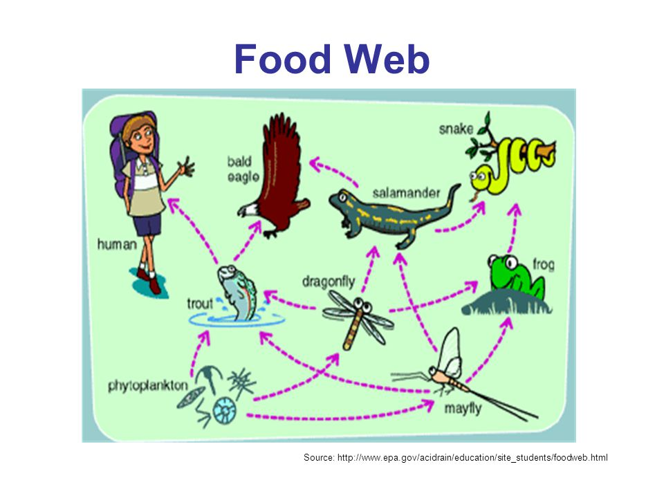 Food Web Source: http://www.epa.gov/acidrain/education/site_students/foodweb.html