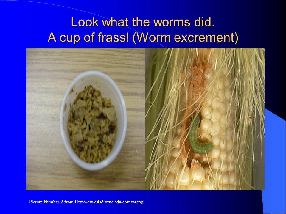 Look what the worms did. A cup of frass! (Worm excrement) Picture Number 2 from Http://ow.csisd.org/usda/cornear.jpg