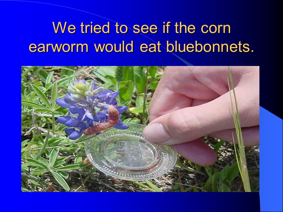 We tried to see if the corn earworm would eat bluebonnets.